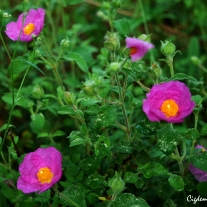 Cistus creticus Linnaeus - Pink Rock Rose - Hoary Rock Rose - Cretan Rock Rose - Laden - Girit Ladeni - Pamukla - Karağan - Pembe Çiçekli Pamukluk